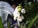 Holly Ghost<BR>Orchid